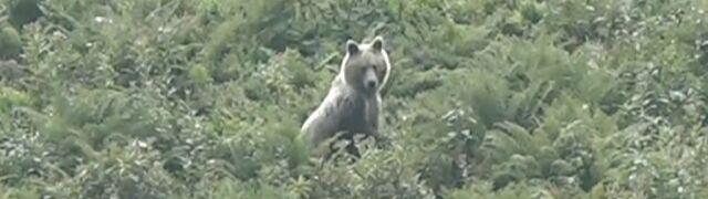 Niedźwiedź na Hali Kondratowej.  Jak postępować w przypadku spotkania?