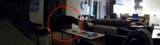 Włamał się do domu, otworzył lodówkę. Niedźwiedź szukał przekąski