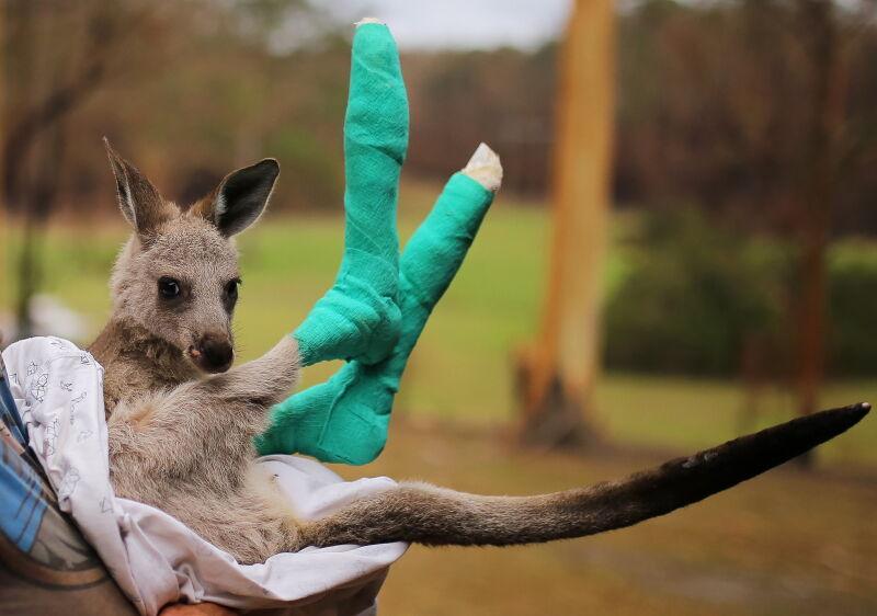 Osierocony kangur z poparzonymi łapami (PAP/EPA/STEVEN SAPHORE)