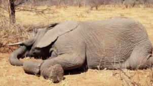 Przez suszę padło 55 słoni.