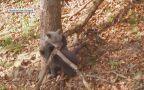 Zabawa niedźwiadków w bieszczadzkim lesie
