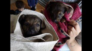 """Mimo zakazu w sieci kwitnie handel psami. """"Dwa szczeniaki za 300 zł plus flaszeczka"""""""
